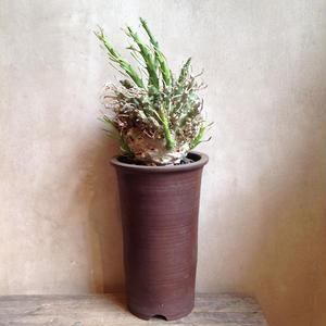 ユーフォルビアムルチラモサ   Euphorbia multiramosa
