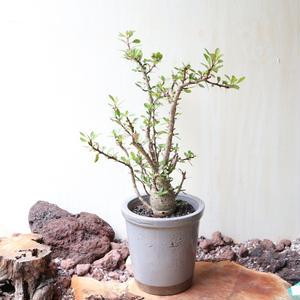 フォークイエリア   ファシクラータ   no.003  Fouquieria    fasciculata