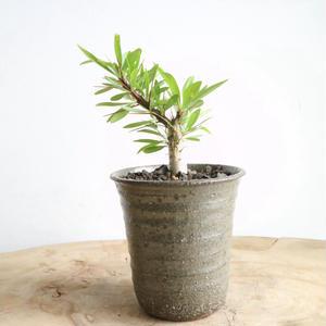 フォークイエリア   プルプシー  no.015   Fouquieria purpusii