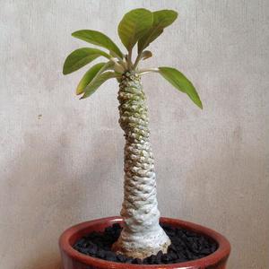ドルステニア    フォエチダ     Dorstenia foetida