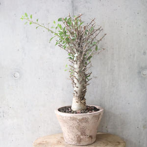 フォークイエリア   コルムナリス   no.004  Fouquieria columnaris
