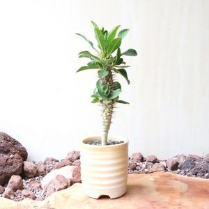 ユーフォルビア   ディディエレオ イデス  no.004   Euphorbia didiereoides
