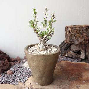 フォークイエリア   コルムナリス   no.008  Fouquieria columnari