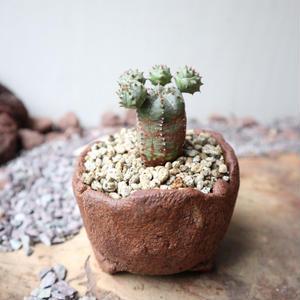 ユーフォルビア  オベサ 梵天   no.048   Euphorbia 'Obesa Bonten'