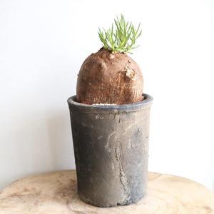 パキポディウム   ビスピノーサム   no.005   Pachypodium bispinosum
