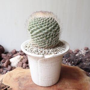 ストロンボカクタス  ディシフォルミス   菊水  no.004   Strombocactus disciformis