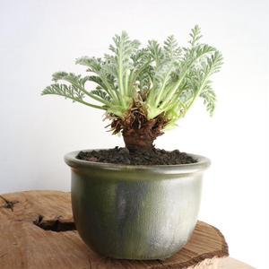 ペラルゴニウム   アッペンディクラツム  no.005  Pelargonium appendiculatum