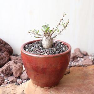 フォークイエリア   コルムナリス     Fouquieria columnari