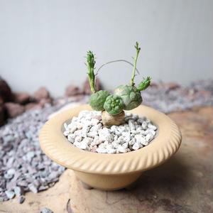 ユーフォルビア グロボーサ  no.009     Euphorbia globosa
