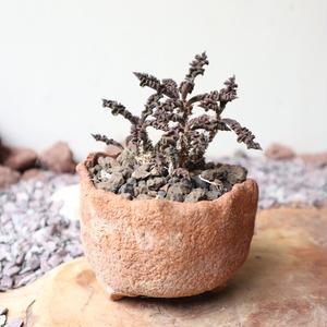 ユーフォルビア デカリー   no.004   Euphorbia decaryi