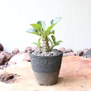 パキポディウム  ウィンゾリー   no.013   Pachypodium baronii var. windsorii