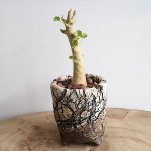 ドルステニア  ジプソフィラ  no.001   Dorstenia gypsophila