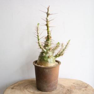 パキポディウム  サンデルシー   no.009  Pachypodium saundersii