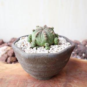 ユーフォルビア  仔吹きオベサ   no.038   Euphorbia obesa