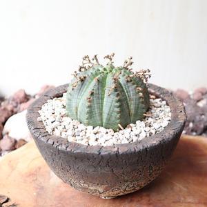 ユーフォルビア  バリダ   no.026   Euphorbia valida