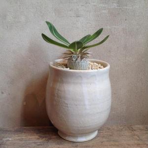 パキポディウム      エブレネウム    実生  no.10     Pachypodium rosulatum var. eburneum