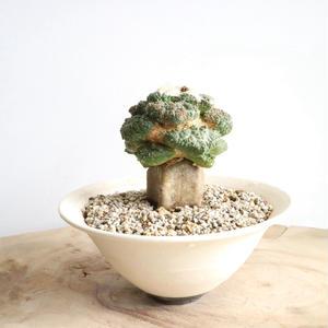 ロゼオカクタス  ゴジラ  no.001   Roseocactus fissuratus 'Godzilla