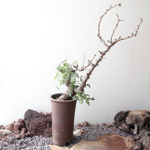 ボスウェリア  ネグレクタ    no.011   Boswellia neglecta