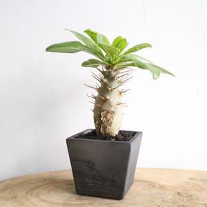 パキポディウム  サンデルシー   no.010  Pachypodium saundersii