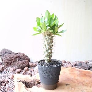 パキポディウム  ブレビカウレ  恵比寿笑い  no.005 Pachypodium brevicle
