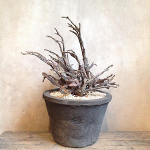 ユーフォルビア    プラティクラダ no.02   Euphorbia platyclada