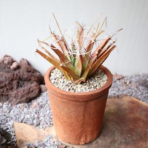 レウクテンベルギア  晃山   no.015   Leuchtenbergia principis