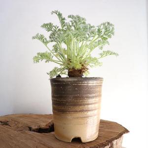 ペラルゴニウム   アッペンディクラツム  no.004  Pelargonium appendiculatum