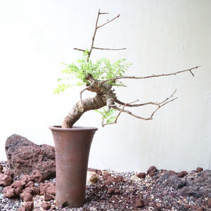ボスウェリア  ネグレクタ    no.009   Boswellia neglecta