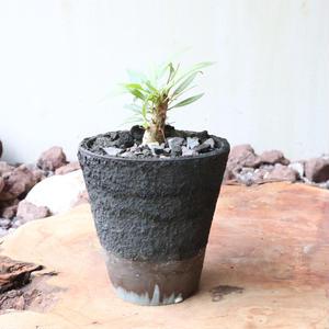 フォークイエリア   プルプシー  no.018   Fouquieria purpusii