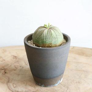 ユーフォルビア  オベサ   no.032   Euphorbia obesa