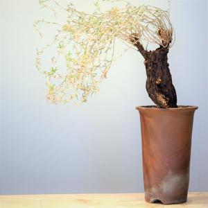 メストクレマ  ツベローサム   no.001  Mestoklema  tuberosa