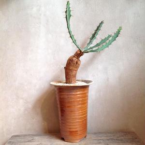 ユーフォルビア  ブルアナ  no.02    Euphorbia buruapan