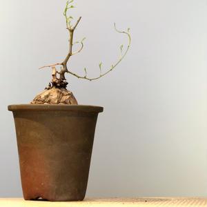 ディオスコレア   亀甲竜   no.003  W6.5cm   Dioscorea elephantipe