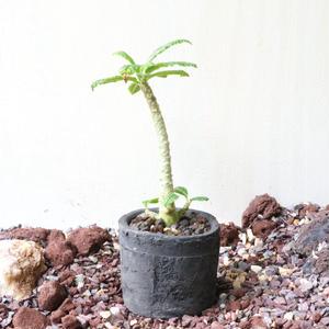 ドルステニア    ギガス    no.003   Dorstenia gigas