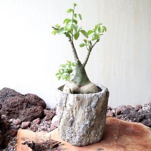 アデニア   グラウカ  no.013   Adenia glauca