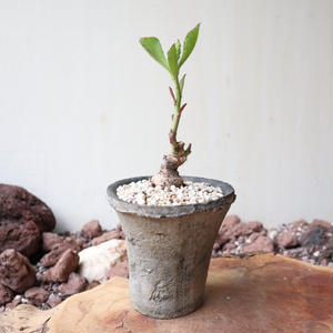 モナデニウム    エキヌラーツム   no.001   Monadenium echinulatum