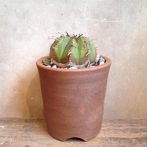 ユーフォルビア  バリダ   Euphorbia valida