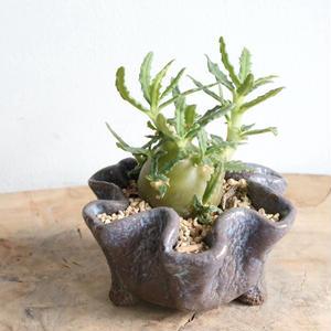 ドルステニア   ヒルデブランドティー f. クリスプム  no.003   Dorstenia hildebrandtii f. crispum