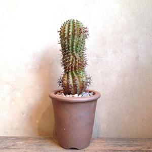 ユーフォルビア   ステリスピナ    Euphorbia stellispina