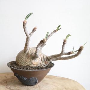 パキポディウム グラキリス   no.004  Pachypodium rosulatum var. gracilius