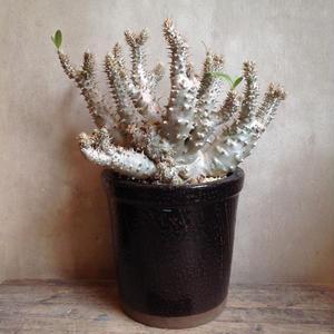 パキポディウム  ホロンベンセ    Pachypodium horombense.
