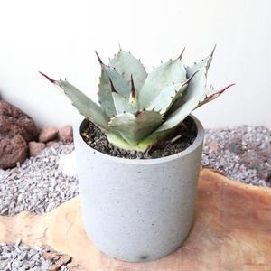 """アガベ   パリー    フアチェセンシス   no.003   Agave parryi v. huachucensis """"吉祥天"""""""