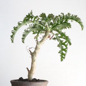 ペラルゴニウム   カルノーサム  no.004   Pelargonium carnosum