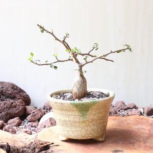 ブルセラ   ファガロイデス  no.007     Bursera fagaroides