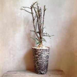 ユーフォルビア   サカラハエンシス   no.02  Euphorbia sakarahaensis