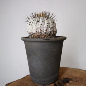コピアポア    孤竜丸    no.001  Copiapoa   cinerea   var.  columna-alba