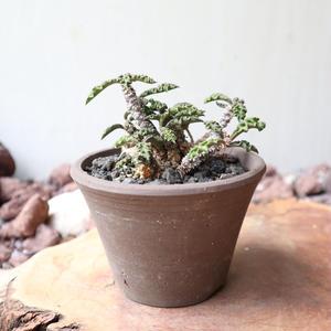 ユーフォルビア デカリー   no.003    Euphorbia decaryi
