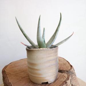 アロエ ラエタ  no.003   Aloe laeta