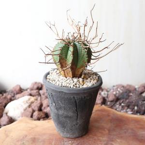 ユーフォルビア  バリダ (スーパーバリダ)   no.024   Euphorbia valida