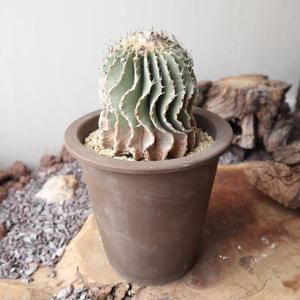 ゲオヒントニア    メキシカーナ  自根  no.007   Geohintonia mexicana